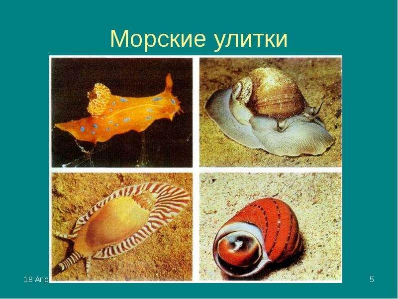 Морские улитки