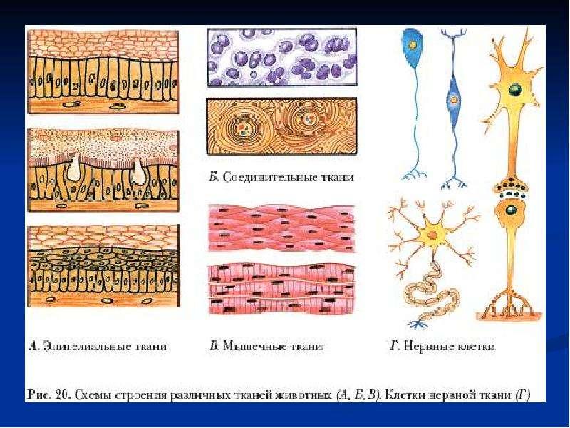 Тест по биологии по разделу ткани 6 класс