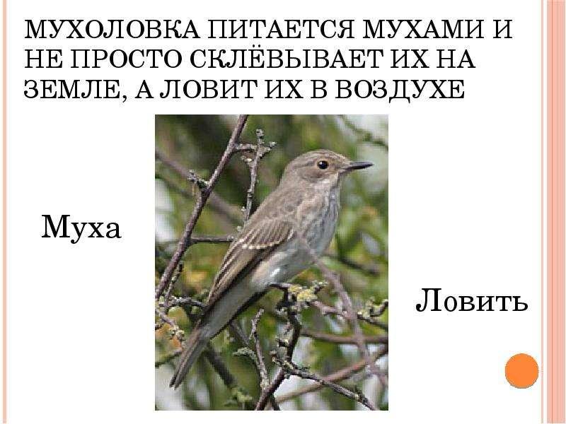 Мухоловка питается мухами и не просто склёвывает их на земле, а ловит их в воздухе Муха