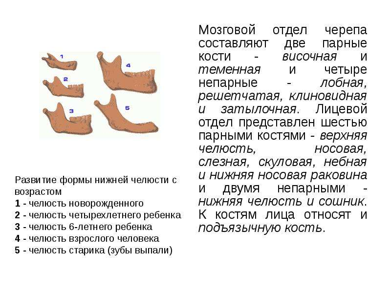 Мозговой отдел черепа составляют две парные кости - височная и теменная и четыре непарные - лобная,