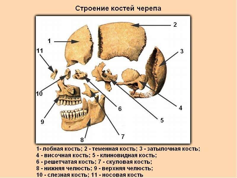 СКЕЛЕТ ЧЕЛОВЕКА, слайд 12