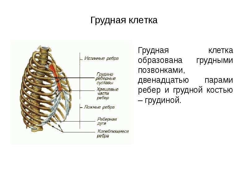Грудная клетка Грудная клетка образована грудными позвонками, двенадцатью парами ребер и грудной кос