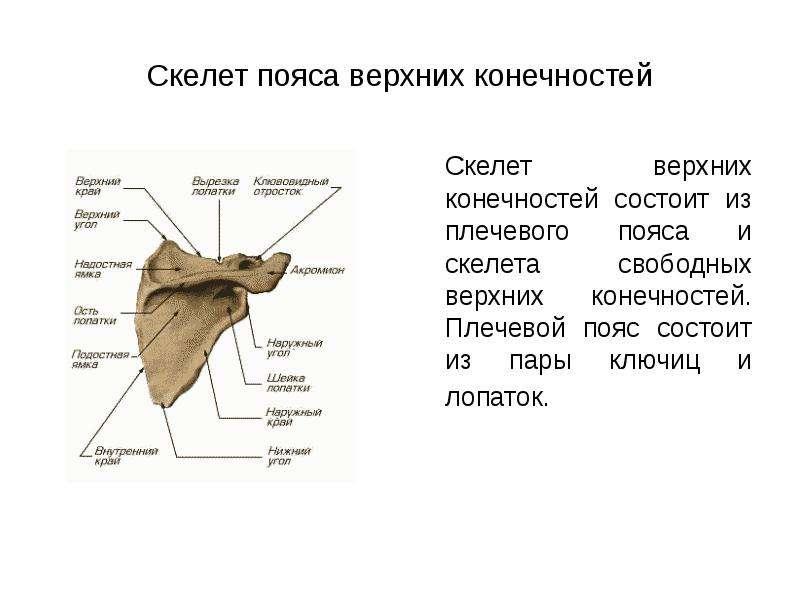 Скелет пояса верхних конечностей Скелет верхних конечностей состоит из плечевого пояса и скелета сво