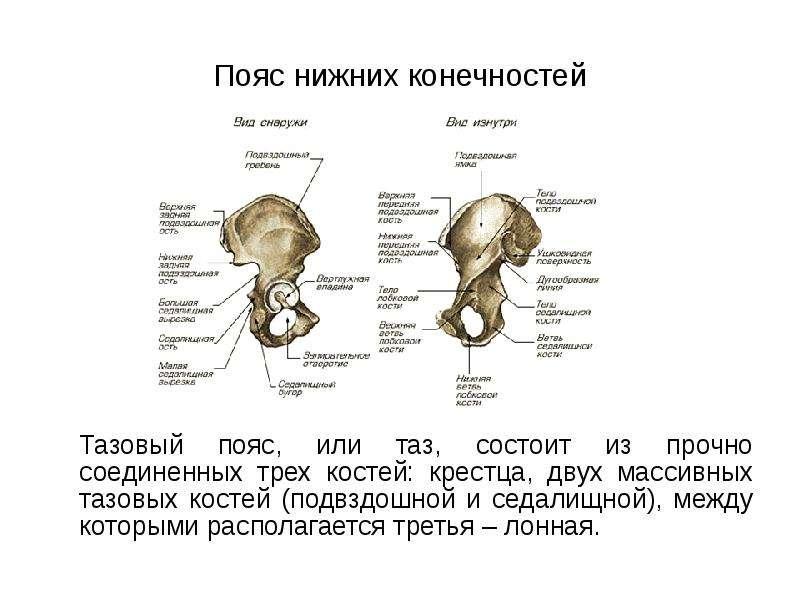 Пояс нижних конечностей Тазовый пояс, или таз, состоит из прочно соединенных трех костей: крестца, д