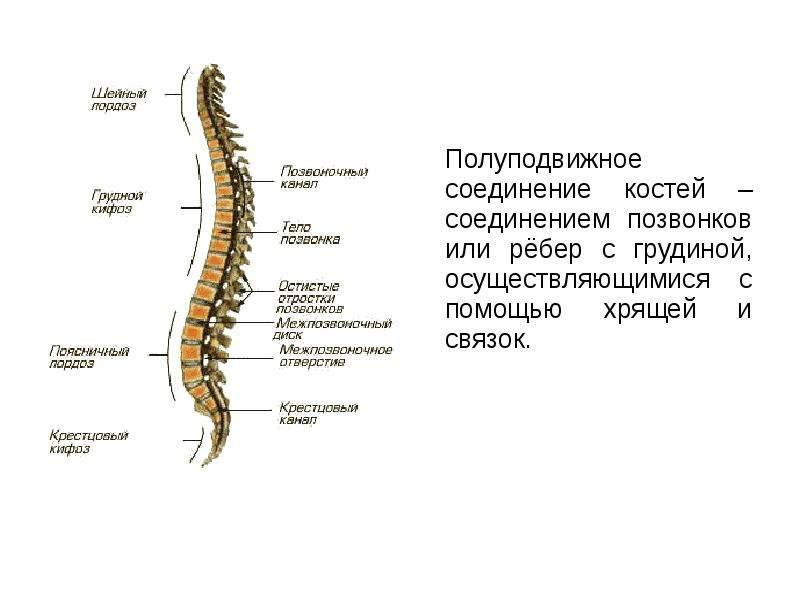 Полуподвижное соединение костей – соединением позвонков или рёбер с грудиной, осуществляющимися с по