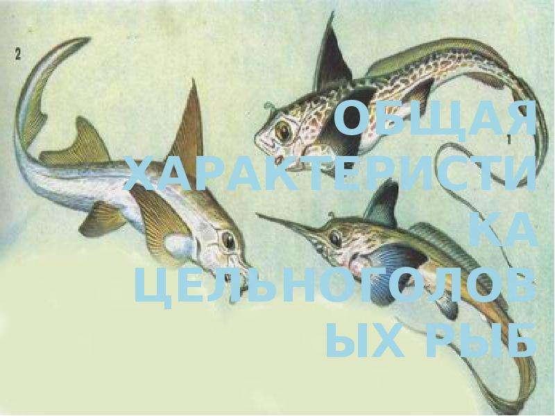 Презентация Общая характеристика цельноголовых рыб