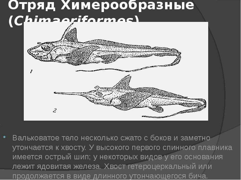 Отряд Химерообразные (Chimaeriformes) Вальковатое тело несколько сжато с боков и заметно утончается