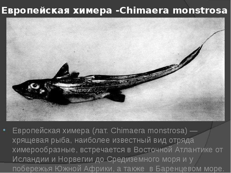 Европейская химера -Chimaera monstrosa Европейская химера (лат. Chimaera monstrosa) — хрящевая рыба,