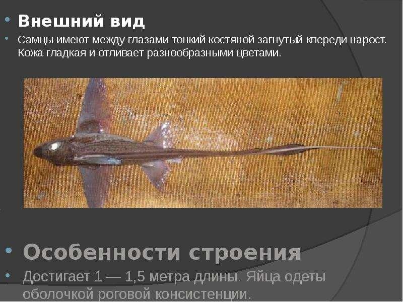 Внешний вид Внешний вид Самцы имеют между глазами тонкий костяной загнутый кпереди нарост. Кожа глад