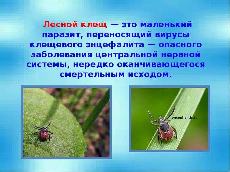 Лесной клещ — это маленький паразит, переносящий вирусы клещевого энцефалита — опасного заболевания