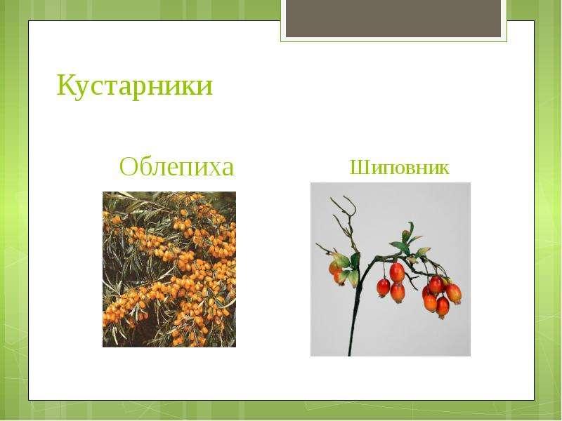 Кустарники Облепиха