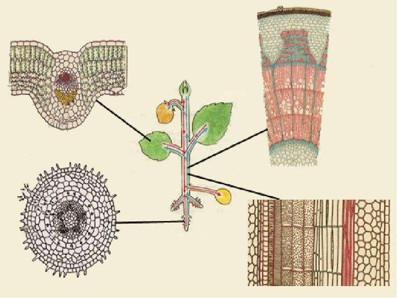 Внешнее и внутреннее строение корня, слайд 12