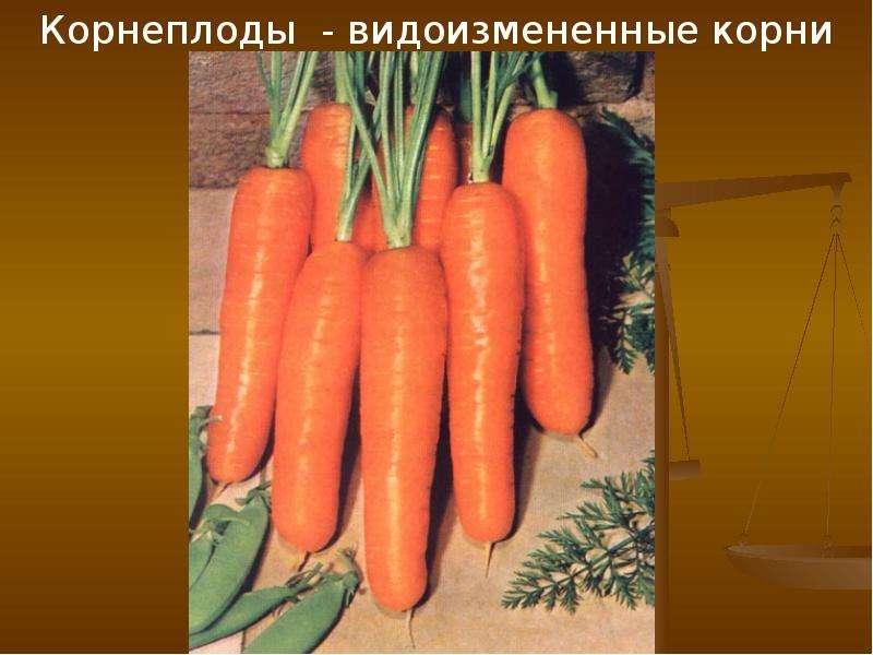 Корнеплоды - видоизмененные корни Корнеплоды - видоизмененные корни