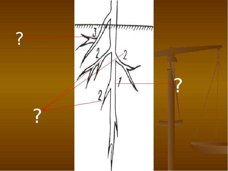 Внешнее и внутреннее строение корня, слайд 18