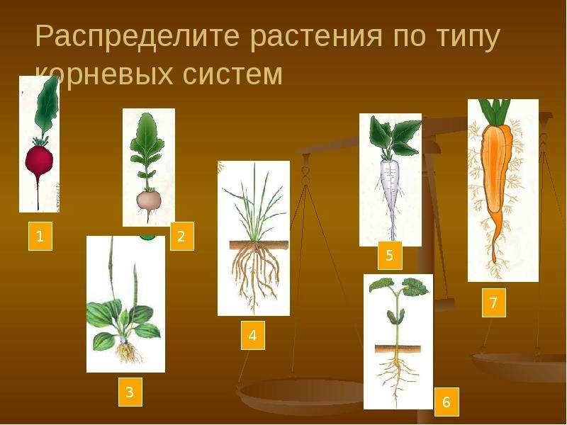 Распределите растения по типу корневых систем