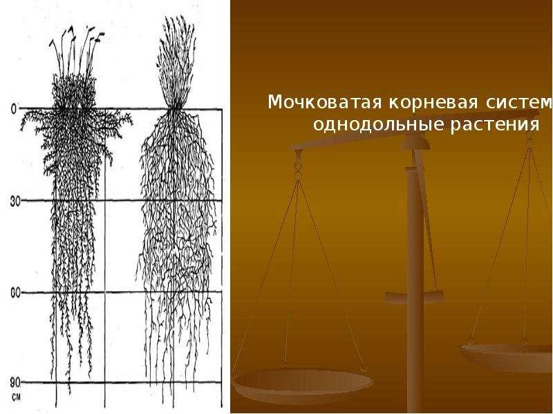 Внешнее и внутреннее строение корня, слайд 6