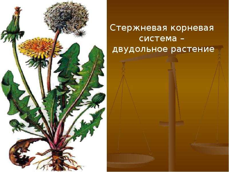 Внешнее и внутреннее строение корня, слайд 7