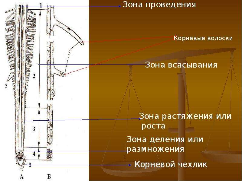 Внешнее и внутреннее строение корня, слайд 8