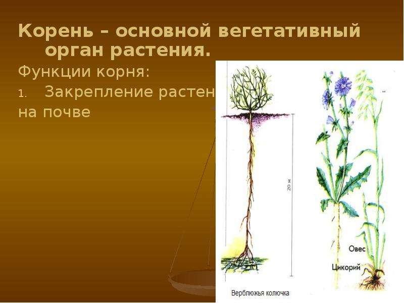 Корень – основной вегетативный орган растения. Корень – основной вегетативный орган растения. Функци