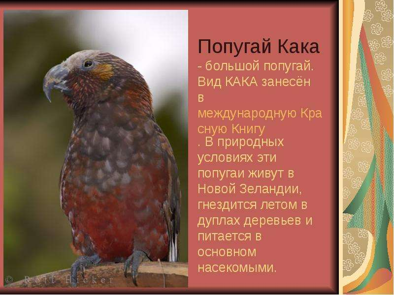 Попугай Кака - большой попугай. Вид КАКА занесён в международную Красную Книгу. В природных условиях