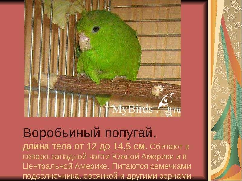 Воробьиный попугай. длина тела от 12 до 14,5 см. Обитают в северо-западной части Южной Америки и в Ц