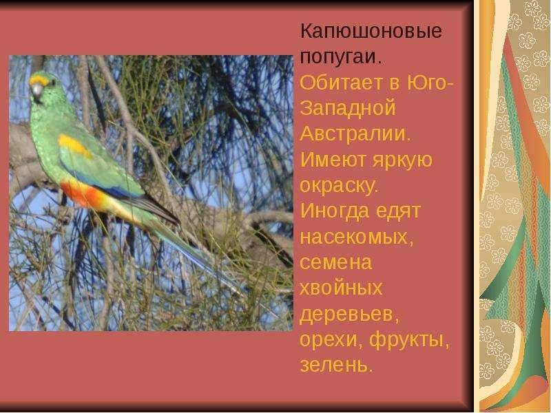 Капюшоновые попугаи. Обитает в Юго-Западной Австралии. Имеют яркую окраску. Иногда едят насекомых, с