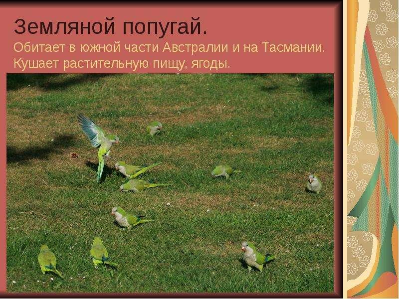 Земляной попугай. Обитает в южной части Австралии и на Тасмании. Кушает растительную пищу, ягоды.