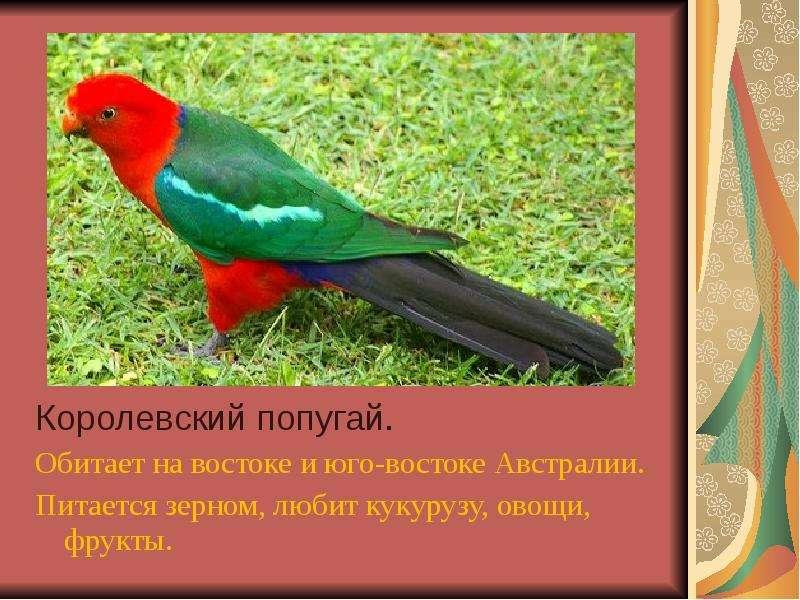 Королевский попугай. Королевский попугай. Обитает на востоке и юго-востоке Австралии. Питается зерно
