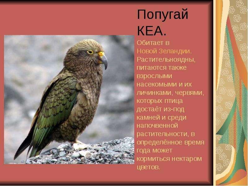 Попугай КЕА. Обитает в Новой Зеландии. Растительноядны, питаются также взрослыми насекомыми и их лич