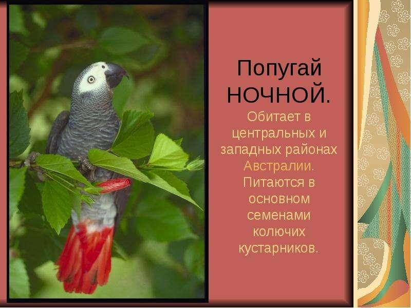 Попугай НОЧНОЙ. Обитает в центральных и западных районах Австралии. Питаются в основном семенами кол