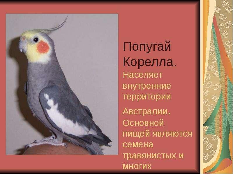 Попугай Корелла. Населяет внутренние территории Австралии. Основной пищей являются семена травянисты