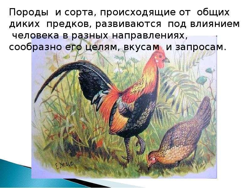 Учение Ч. Дарвина об искусственном отборе, рис. 15