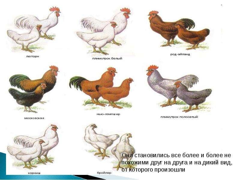 Учение Ч. Дарвина об искусственном отборе, рис. 16