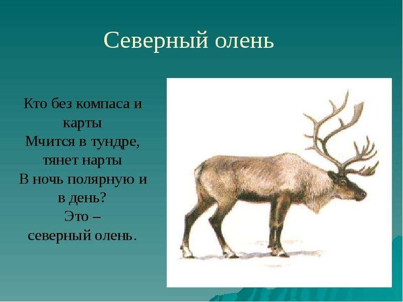 Животные Крайнего Севера, слайд 4