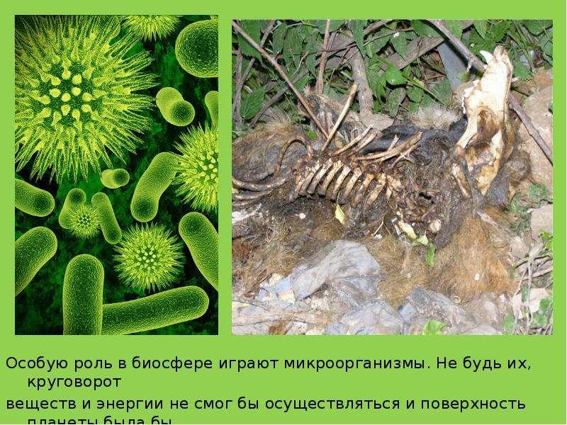 Особую роль в биосфере играют микроорганизмы. Не будь их, круговорот Особую роль в биосфере играют м