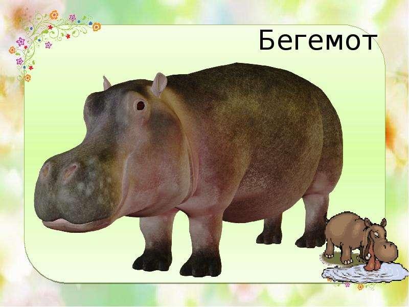 Шкура бегемотов такая толстая (до 4 сантиметров в толщину), что при получении ран в условиях содержания в зоопарках