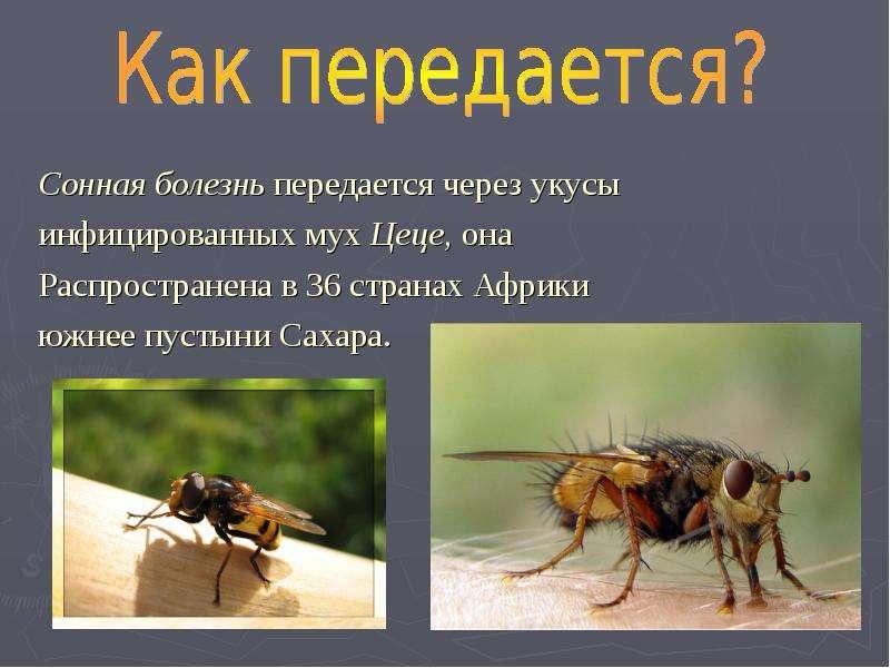 Сонная болезнь передается через укусы Сонная болезнь передается через укусы инфицированных мух Цеце,