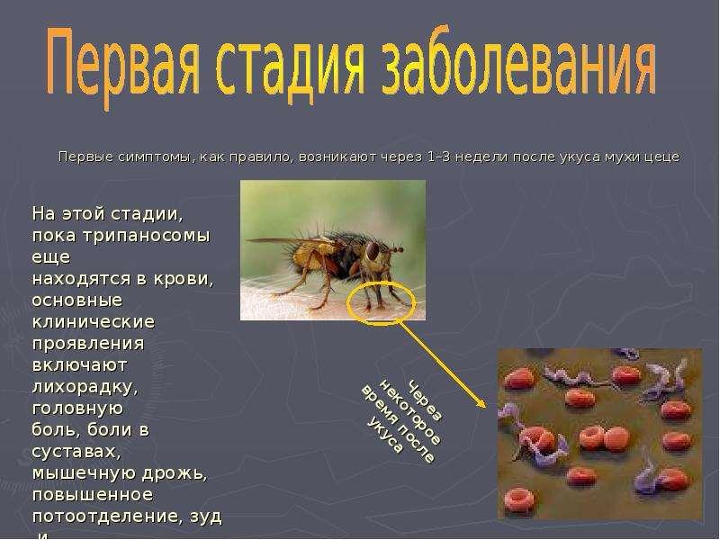 Первые симптомы, как правило, возникают через 1–3 недели после укуса мухи цеце Первые симптомы, как