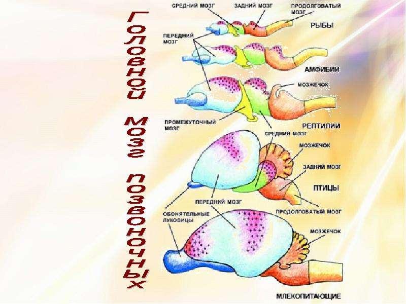 Координация и регуляция организмов, слайд 10