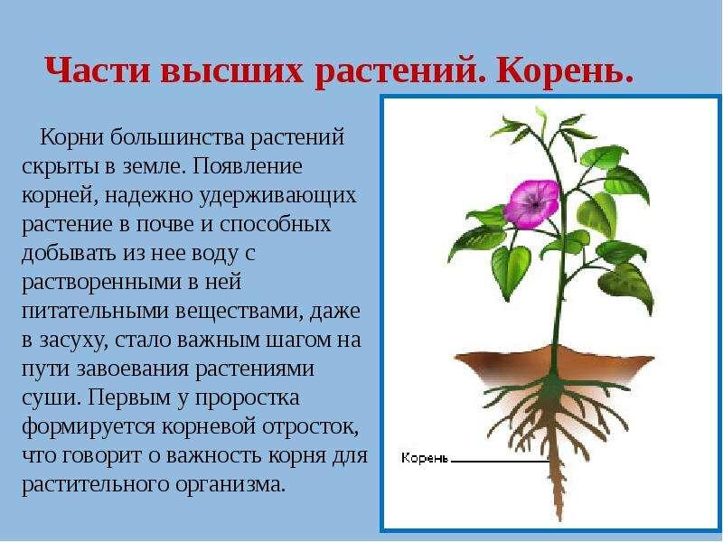 Части высших растений. Корень.