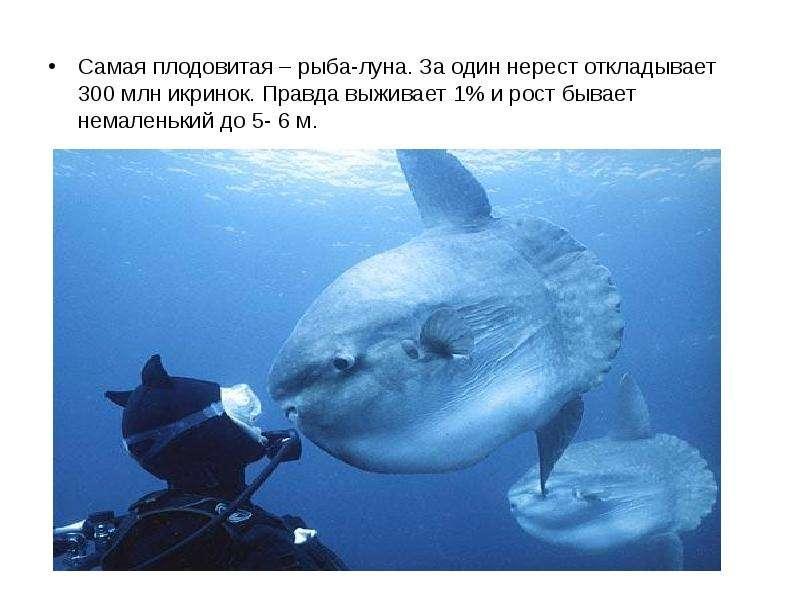 Самая плодовитая – рыба-луна. За один нерест откладывает 300 млн икринок. Правда выживает 1% и рост