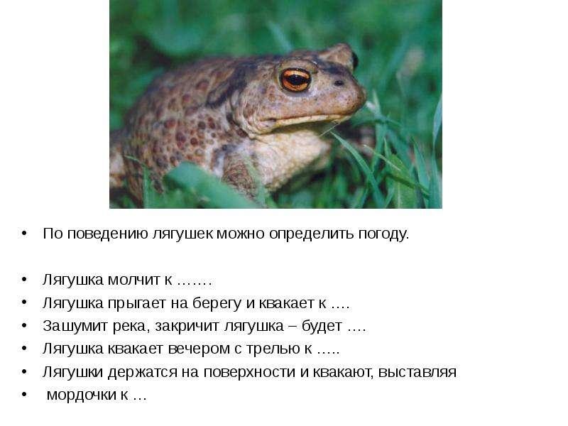 По поведению лягушек можно определить погоду. Лягушка молчит к ……. Лягушка прыгает на берегу и квака