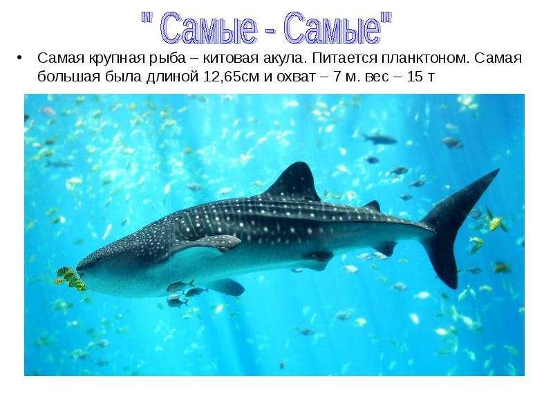Самая крупная рыба – китовая акула. Питается планктоном. Самая большая была длиной 12,65см и охват –