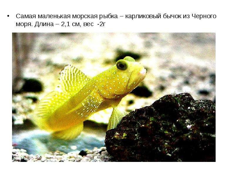 Самая маленькая морская рыбка – карликовый бычок из Черного моря. Длина – 2,1 см, вес -2г