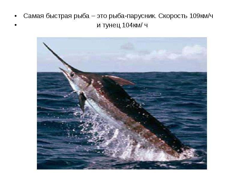 Самая быстрая рыба – это рыба-парусник. Скорость 109км/ч Самая быстрая рыба – это рыба-парусник. Ско