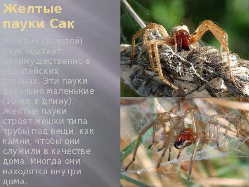 Желтые пауки Сак Желтый (золотой) паук обитает преимущественно в европейских странах. Эти пауки дово