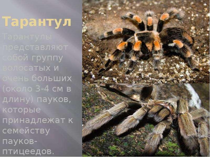 Тарантул Тарантулы представляют собой группу волосатых и очень больших (около 3-4 см в длину) пауков