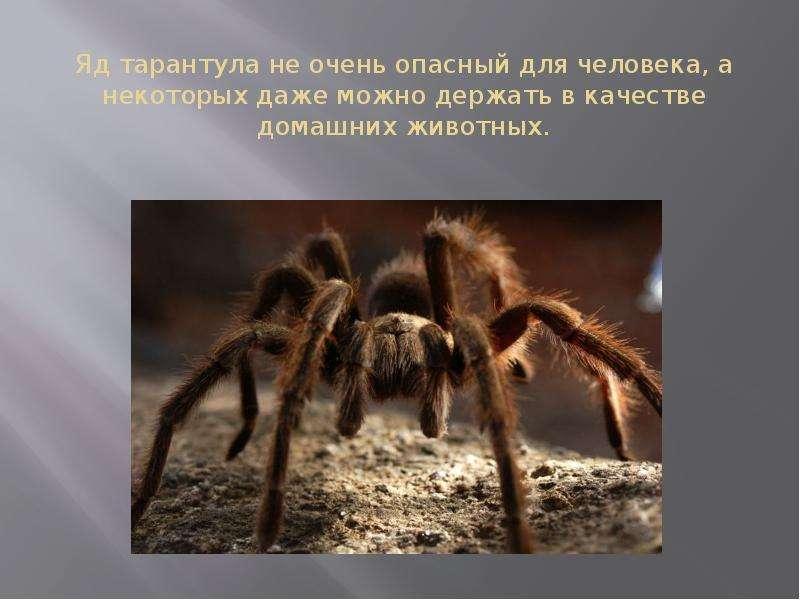 Яд тарантула не очень опасный для человека, а некоторых даже можно держать в качестве домашних живот