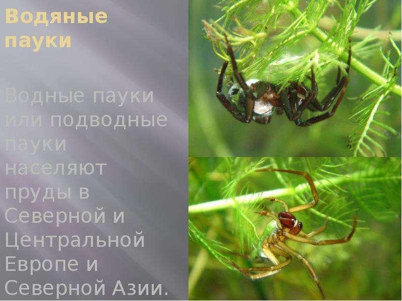 Водяные пауки Водные пауки или подводные пауки населяют пруды в Северной и Центральной Европе и Севе