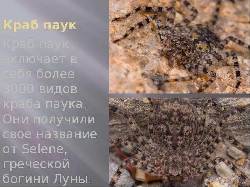 Краб паук Краб паук включает в себя более 3000 видов краба паука. Они получили свое название от Sele